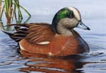 federal duck stamp 2009 wigeon