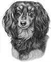 Longhaired Dachshund Black and Tan Dog Art